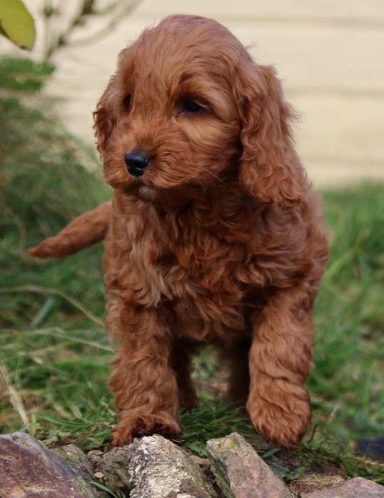 Best Food For Puppies >> Frazzle x Mr Fox's puppies